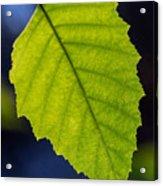 Green Beech Leaf 1 Acrylic Print