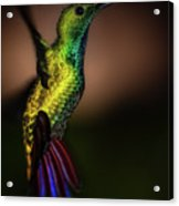 Green Breasted Mango Hummingbird Acrylic Print