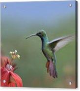 Green Breasted Mango Hummingbird Male Acrylic Print