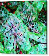Green Caladium Acrylic Print