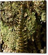 Green Centipede Acrylic Print