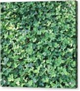 Green Clovers Acrylic Print