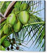 Green Coconuts-02 Acrylic Print
