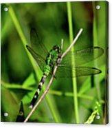 Green Dragonfly Acrylic Print