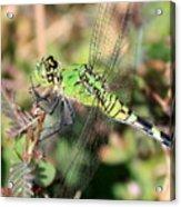 Green Dragonfly Macro Acrylic Print