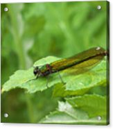 Green Dragonfly On Leaf Acrylic Print