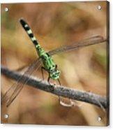 Green Dragonfly On Twig Acrylic Print