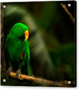 Green Eclectus Parrot Male Acrylic Print