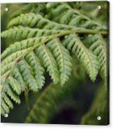 Green Fern Acrylic Print