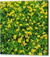 Green Field Of Yellow Flowers 1 Acrylic Print