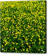 Green Field Of Yellow Flowers 3 Acrylic Print