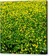 Green Field Of Yellow Flowers Acrylic Print