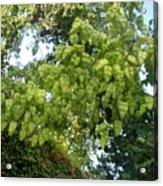 Green Fizalis Plant Acrylic Print