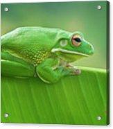 Green Frog Whitelips Acrylic Print