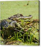 Green Gator Acrylic Print