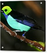 Green Headed Bird On Branch Acrylic Print
