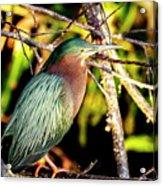 Green Heron At Green Cay Wetlands Acrylic Print