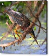 Green Heron Brazos Bend State Park Acrylic Print