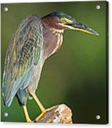 Green Heron Butorides Virescens Acrylic Print