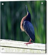 Green Heron Calling Softly In The Early Morning Acrylic Print