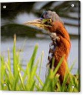 Green Heron Closeup  Acrylic Print