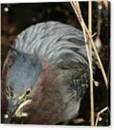 Green Heron Hunting Acrylic Print