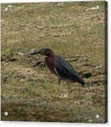 Green Heron In Central Texas Acrylic Print