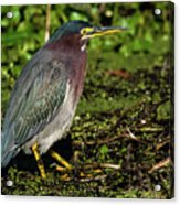 Green Heron In Swampy Water Acrylic Print
