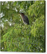 Green Heron In Tree Acrylic Print