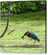 Green Heron Lunch Acrylic Print