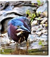 Green Heron Male Acrylic Print