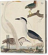 Green Heron, Night Heron, Young Heron, And Great White Heron Acrylic Print