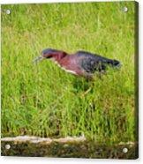 Green Heron On The Hunt Acrylic Print