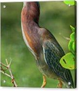 Green Heron Pose Acrylic Print
