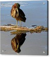 Green Heron Preening Acrylic Print