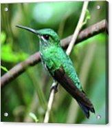 Green Crowned Brilliant Hummingbird Acrylic Print