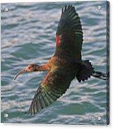 Green Ibis 6 Acrylic Print