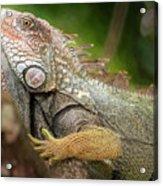 Green Iguana Costa Rica Acrylic Print