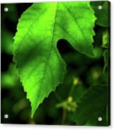 Green Is The Mulberry Leaf Acrylic Print
