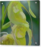 Green Lady Slipper Orchid Acrylic Print