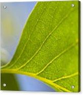 Green Leaf Backlit  Acrylic Print