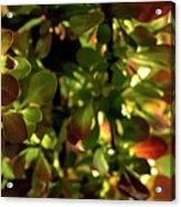 Green Leaf Red Leaf Pano Acrylic Print