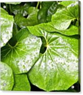 Green Leaves Longwood Garden Acrylic Print