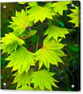 Green Maple  Acrylic Print