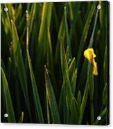 Green Marsh Grass At Sunrise On Lake Cassidy  Acrylic Print
