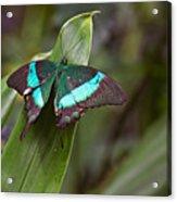 Green Moss Peacock Butterfly Acrylic Print