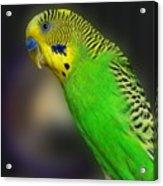 Green Parakeet Portrait Acrylic Print