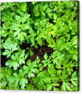Green Parsley 2 Acrylic Print