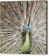 Green Peacock Acrylic Print