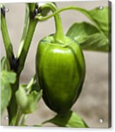 Green Pepper Acrylic Print